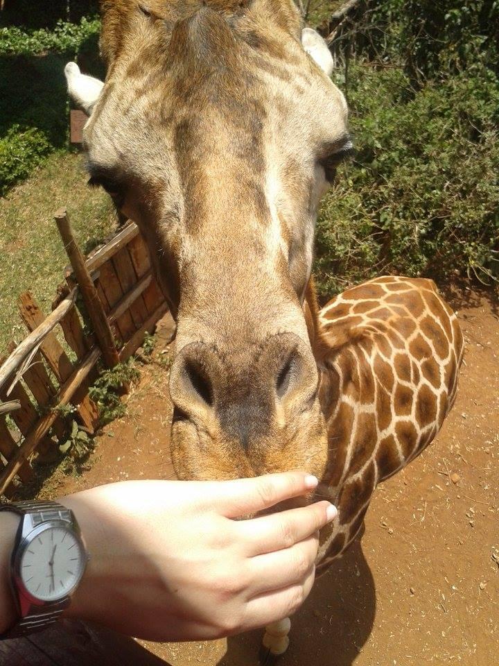 żyrafa Kenia