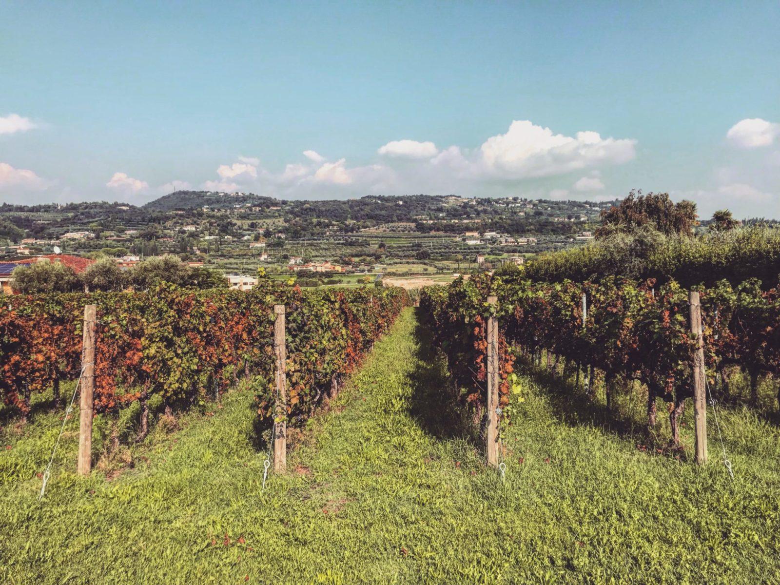 winnica włoska