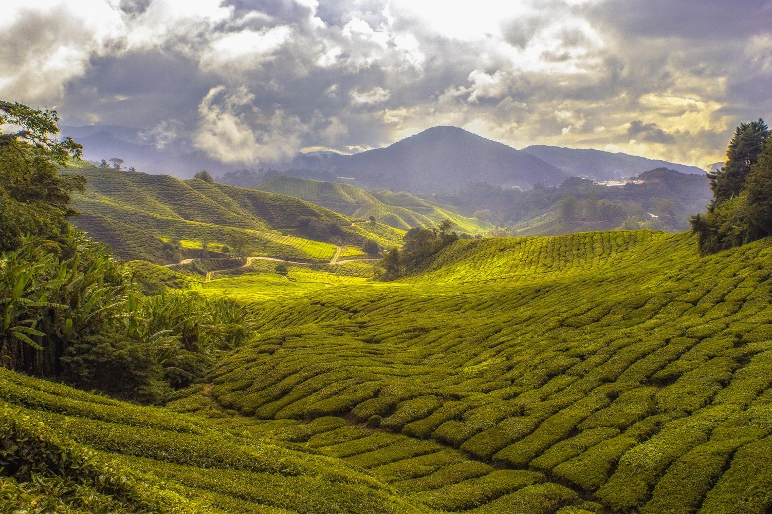 Pola herbaty Malezja